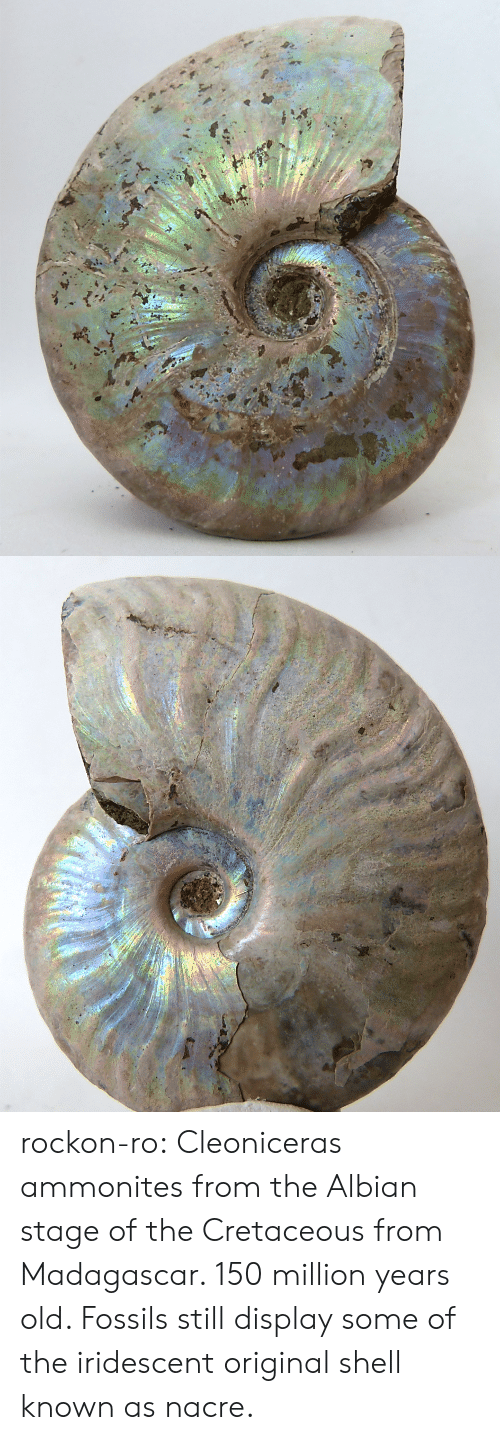 madagascar: rockon-ro:    Cleoniceras ammonites from the Albian stage of the Cretaceous from Madagascar. 150 million years old. Fossils still display some of the iridescent original shell known as nacre.