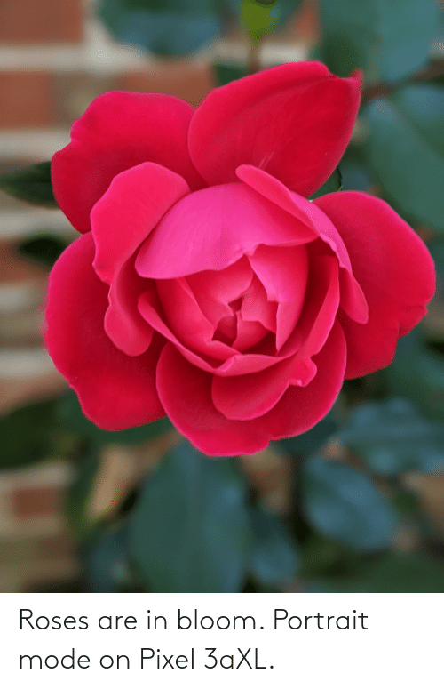 Roses Are: Roses are in bloom. Portrait mode on Pixel 3aXL.