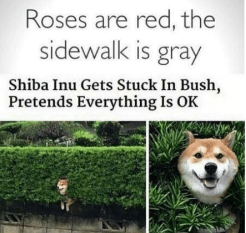 bush: Roses are red, the  sidewalk is gray  Shiba Inu Gets Stuck In Bush,  Pretends Everything Is OK