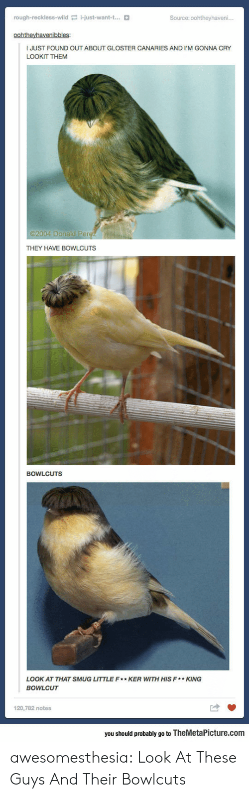 look at that: rough-reckless-wild i-just-want-t...  Source: 0ohtheyhaveni..  oohtheyhavenibbles:  JUST FOUND OUT ABOUT GLOSTER CANARIES AND I'M GONNA CRY  LOOKIT THEM  2004 Donald Perez  THEY HAVE BOWLCUTS  BOWLCUTS  LOOK AT THAT SMUG LITTLE F* KER WITH HIS F*KING  BOWLCUT  120,782 notes  you should probably go to TheMetaPicture.com awesomesthesia:  Look At These Guys And Their Bowlcuts