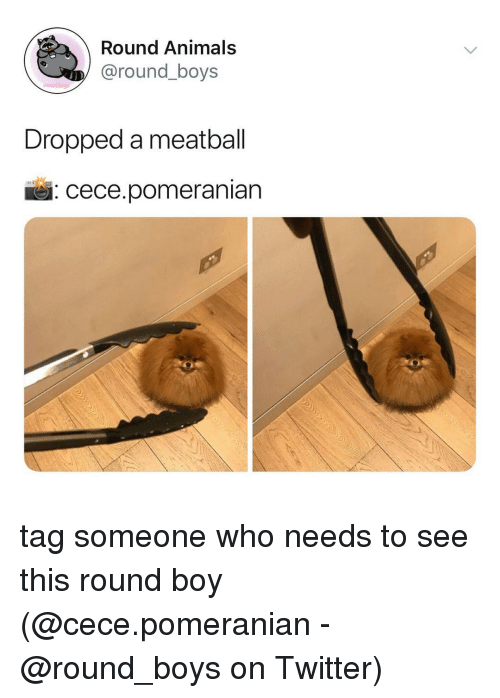 Animals, Memes, and Twitter: Round Animals  @round_boys  Dropped a meatball  : cece.pomeranian tag someone who needs to see this round boy (@cece.pomeranian - @round_boys on Twitter)