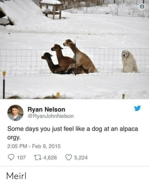 Orgy, MeIRL, and Alpaca: Ryan Nelson  @RyanJohnNelson  Some days you just feel like a dog at an alpaca  orgy  2:05 PM - Feb 9, 2015  107 4,626 5,224 Meirl