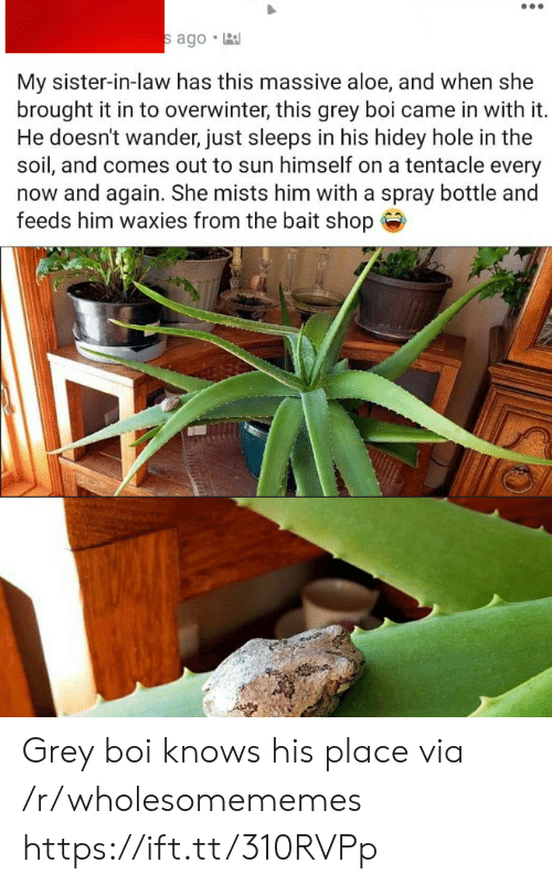 feeds: s ago  My sister-in-law has this massive aloe, and when she  brought it in to overwinter, this grey boi came in with it.  He doesn't wander, just sleeps in his hidey hole in the  soil, and comes out to sun himself on a tentacle every  now and again. She mists him with a spray bottle and  feeds him waxies from the bait shop Grey boi knows his place via /r/wholesomememes https://ift.tt/310RVPp