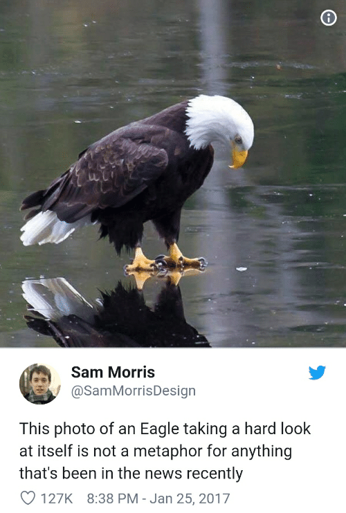 News, Eagle, and Metaphor: Sam Morris  @SamMorrisDesign  This photo of an Eagle taking a hard look  at itself is not a metaphor for anything  that's been in the news recently  127K 8:38 PM - Jan 25, 2017