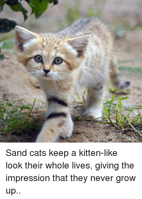 never grow up: Sand cats keep a kitten-like look their whole lives, giving the impression that they never grow up..