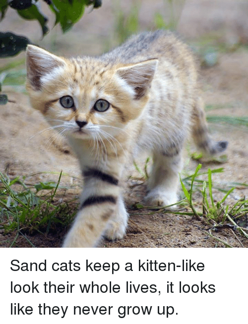 never grow up: Sand cats keep a kitten-like look their whole lives, it looks like they never grow up.
