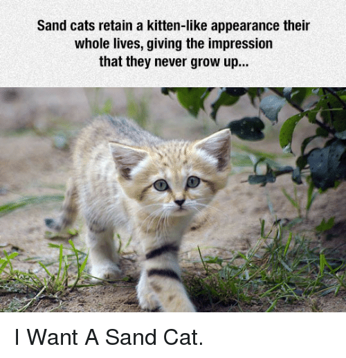 never grow up: Sand cats retain a kitten-like appearance their  whole lives, giving the impression  that they never grow up... <p>I Want A Sand Cat.</p>