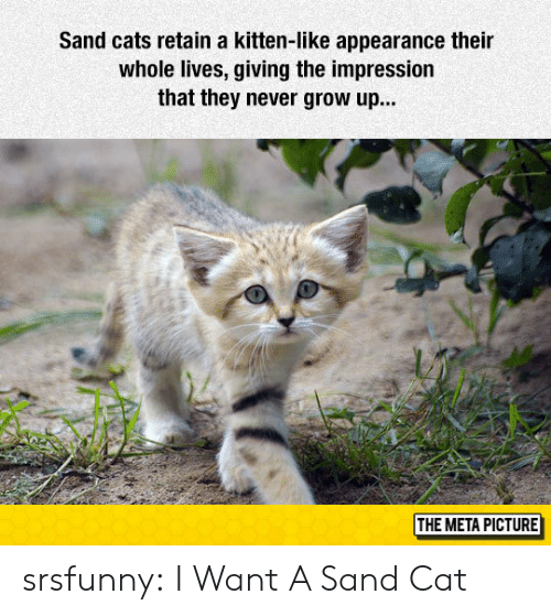 never grow up: Sand cats retain a kitten-like appearance their  whole lives, giving the impression  that they never grow up...  THE META PICTURE srsfunny:  I Want A Sand Cat