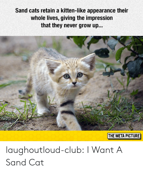 never grow up: Sand cats retain a kitten-like appearance their  whole lives, giving the impression  that they never grow up...  THE META PICTURE laughoutloud-club:  I Want A Sand Cat