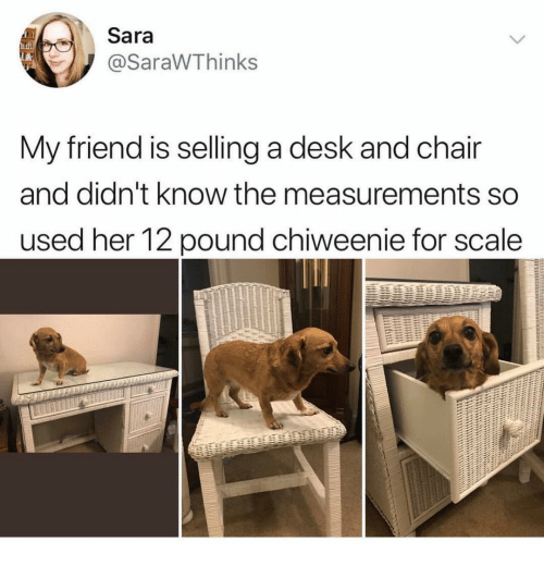 For Scale: Sara  @SaraWThinks  My friend is selling a desk and chair  and didn't know the measurements so  used her 12 pound chiweenie for scale