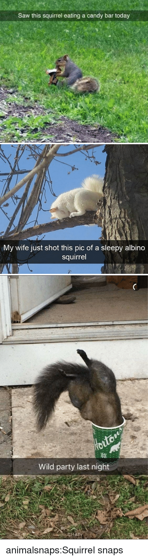 Candy, Party, and Saw: Saw this squirrel eating a candy bar today   My wife just shot this pic of a sleepy albino  squirrel   Wild party last night animalsnaps:Squirrel snaps