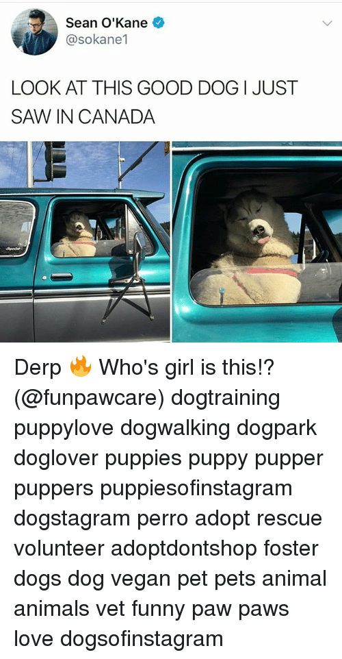 pawe: Sean O'Kane  @sokane1  LOOK AT THIS GOOD DOG I JUST  SAW、IN CANADA Derp 🔥 Who's girl is this!? (@funpawcare) dogtraining puppylove dogwalking dogpark doglover puppies puppy pupper puppers puppiesofinstagram dogstagram perro adopt rescue volunteer adoptdontshop foster dogs dog vegan pet pets animal animals vet funny paw paws love dogsofinstagram