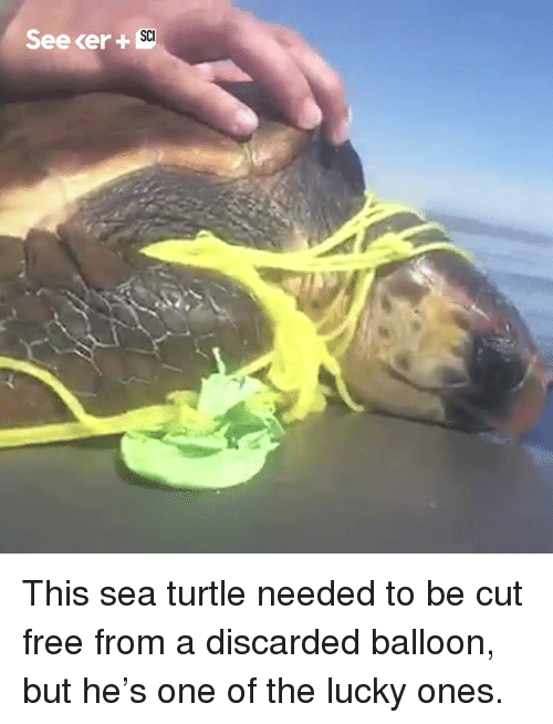 Memes, Free, and Turtle: Seecer +  SCI This sea turtle needed to be cut free from a discarded balloon, but he's one of the lucky ones.