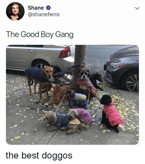 Gang, Best, and Good: Shane  @shaneferro  The Good Boy Gang the best doggos