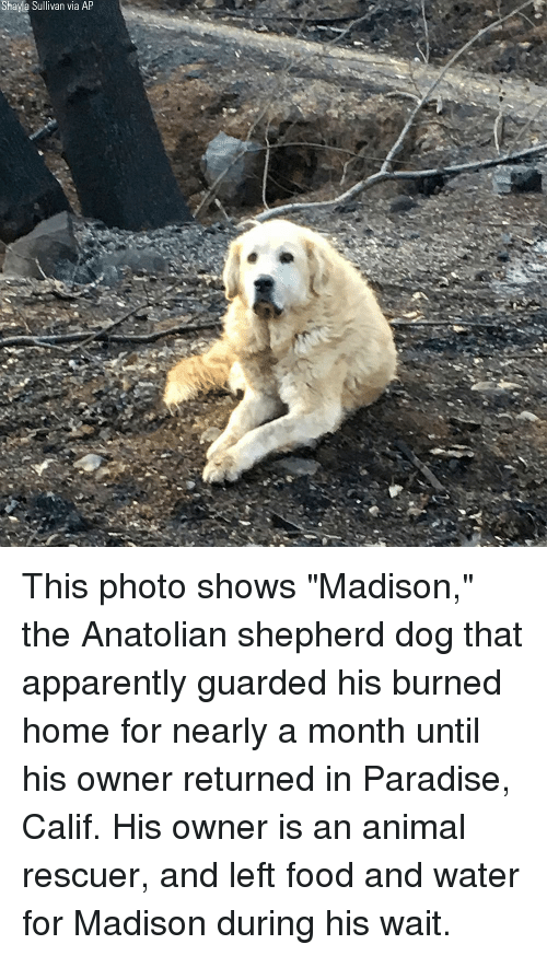 "Apparently, Food, and Memes: Shayla Sullivan via AP This photo shows ""Madison,"" the Anatolian shepherd dog that apparently guarded his burned home for nearly a month until his owner returned in Paradise, Calif. His owner is an animal rescuer, and left food and water for Madison during his wait."