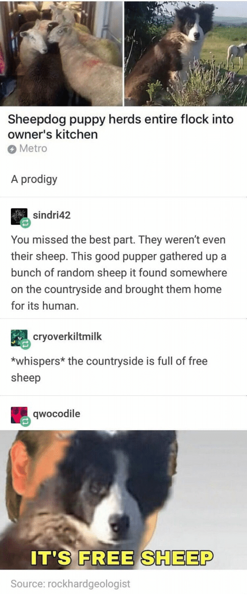 Best, Free, and Good: Sheepdog puppy herds entire flock into  owner's kitchen  Metro  A prodigy  sindri42  You missed the best part. They weren't even  their sheep. This good pupper gathered up a  bunch of random sheep it found somewhere  on the countryside and brought them home  for its human.  cryoverkiltmilk  *whispers* the countryside is full of free  sheep  qwocodile  0  IT'S FREE SHEEP  Source: rockhardgeologist