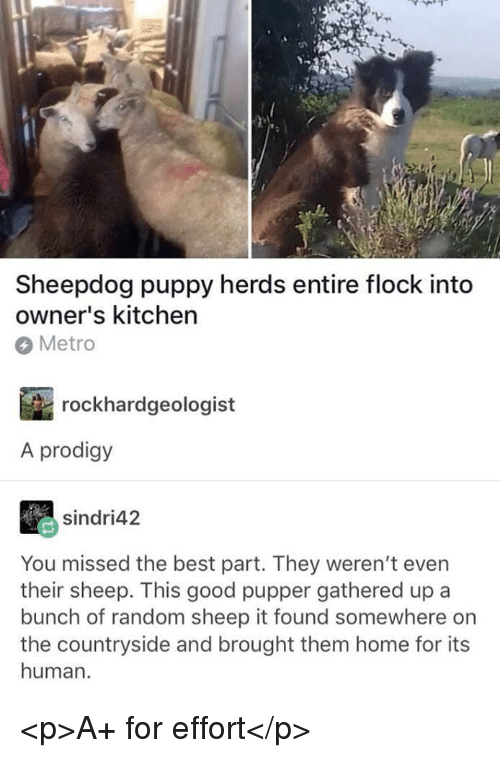 Best, Good, and Home: Sheepdog puppy herds entire flock into  owner's kitchen  Metro  rockhardgeologist  A prodigy  sindri42  You missed the best part. They weren't even  their sheep. This good pupper gathered up a  bunch of random sheep it found somewhere orn  the countryside and brought them home for its  human <p>A+ for effort</p>