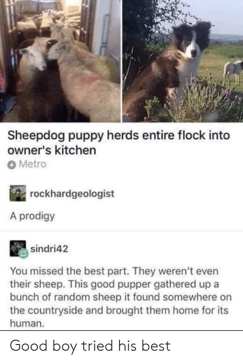 Best, Good, and Home: Sheepdog puppy herds entire flock into  owner's kitchern  Metro  rockhardgeologist  A prodigy  sindri42  You missed the best part. They weren't even  their sheep. This good pupper gathered up a  bunch of random sheep it found somewhere on  the countryside and brought them home for its  human. Good boy tried his best