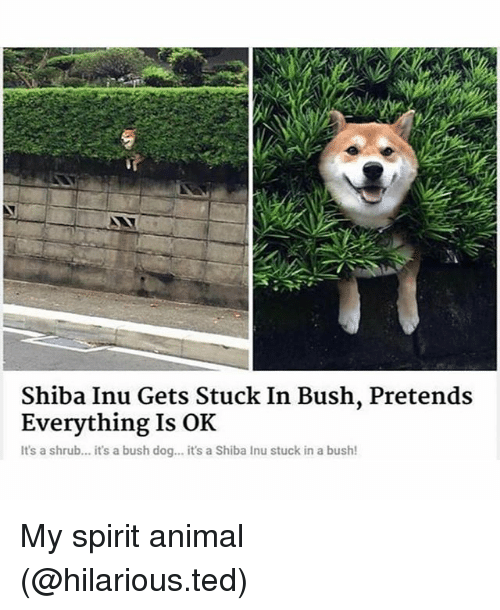 Shiba Inu: Shiba Inu Gets Stuck In Bush, Pretends  Everything Is OK  It's a shrub... it's a bush dog... it's a Shiba Inu stuck in a bush! My spirit animal (@hilarious.ted)