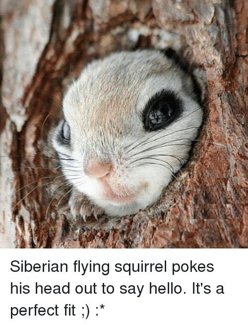 Head, Hello, and Memes: Siberian flying squirrel pokes his head out to say hello. It's a perfect fit ;) :*