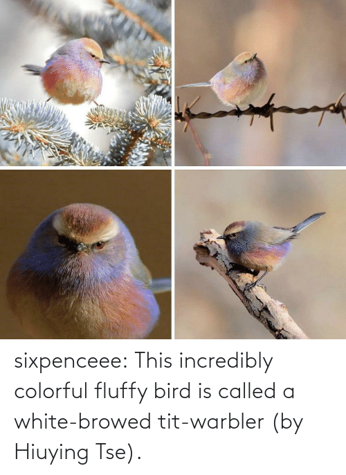 this: sixpenceee:  This incredibly colorful fluffy bird is called a white-browed tit-warbler (by Hiuying Tse).