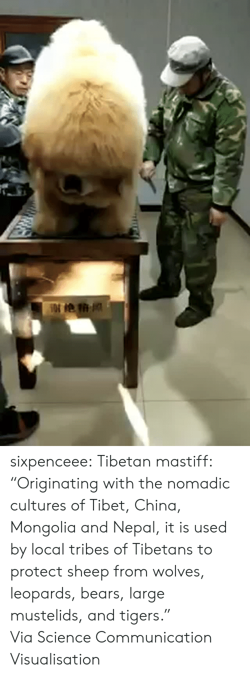 """Https Www Facebook Com: sixpenceee:  Tibetan mastiff: """"Originating with the nomadic cultures of Tibet, China, Mongolia and Nepal, it is used by local tribes of Tibetans to protect sheep from wolves, leopards, bears, large mustelids, and tigers."""" ViaScience Communication  Visualisation"""