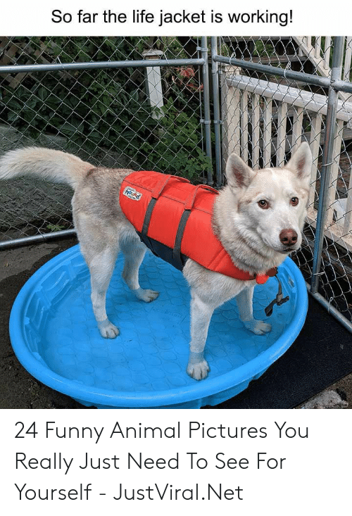 funny animal: So far the life jacket is working!  hound 24 Funny Animal Pictures You Really Just Need To See For Yourself - JustViral.Net