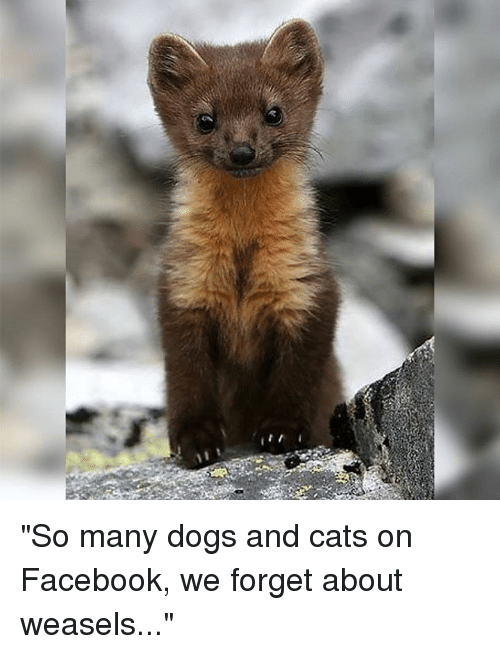 """dog-and-cats: """"So many dogs and cats on Facebook, we forget about weasels..."""""""