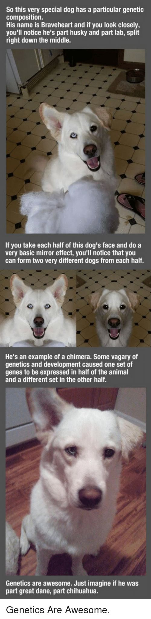 braveheart: So this very special dog has a particular genetic  composition.  His name is Braveheart and if you look closely,  you'll notice he's part husky and part lab, split  right down the middle.  If you take each half of this dog's face and do a  very basic mirror effect, you'll notice that you  can form two very different dogs from each half.  He's an example of a chimera. Some vagary of  genetics and development caused one set of  genes to be expressed in half of the animal  and a different set in the other half.  Genetics are awesome. Just imagine if he was  part great dane, part chihuahua. <p>Genetics Are Awesome.</p>