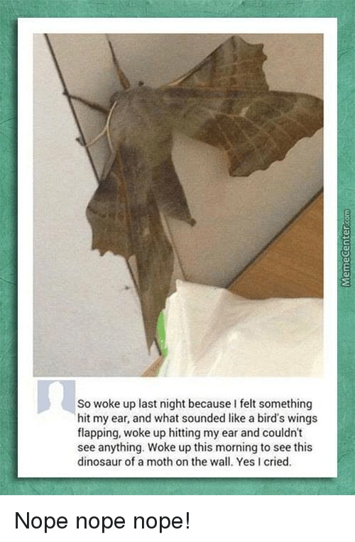 like a bird: So woke up last night because I felt something  hit my ear, and what sounded like a bird's wings  flapping, woke up hitting my ear and couldn't  see anything. Woke up this morning to see this  dinosaur of a moth on the wall. Yes I cried. Nope nope nope!
