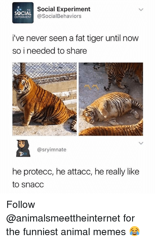 Funniest Animal: Social Experiment  @SocialBehaviors  hthe  SOCIAL  EXPERIMENT  i've never seen a fat tiger until now  so i needed to share  @sryimnate  he protecc, he attacc, he really like  to snacC Follow @animalsmeettheinternet for the funniest animal memes 😂