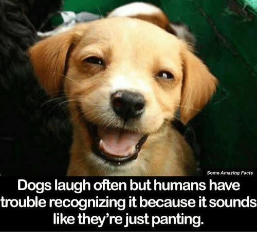 Dog Laughing: Some Amazing Facts  Dogs laugh often but humans have  trouble recognizing it because itsounds  like they're just panting.