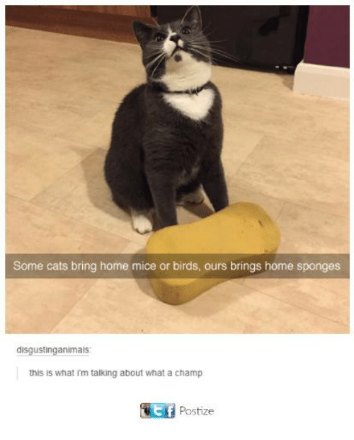 Cats, Funny, and Tumblr: Some cats bring home mice or birds, ours brings home sponges  disgustinganimals  this is what i'm talking about what a champ  Postize