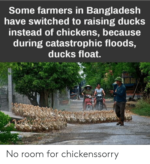 Floods: Some farmers in Bangladesh  have switched to raising ducks  instead of chickens, because  during catastrophic floods,  ducks float.  re No room for chickenssorry