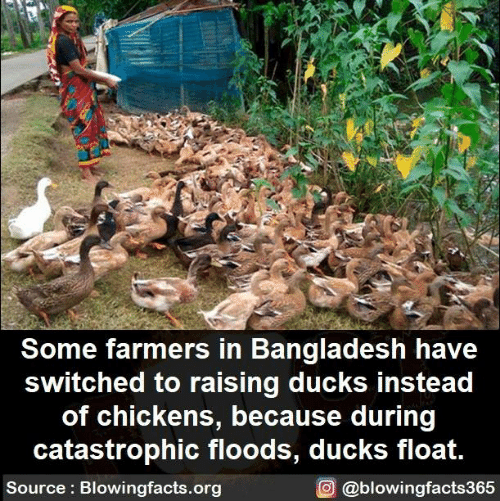Memes, Ducks, and 🤖: Some farmers in Bangladesh have  switched to raising ducks instead  of chickens, because during  catastrophic floods, ducks float.  Source: Blowingfacts.org  O @blowingfacts365