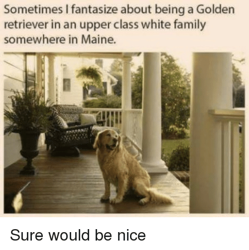 Family, Golden Retriever, and Maine: Sometimes I fantasize about being a Golden  retriever in an upper class white family  somewhere in Maine. Sure would be nice