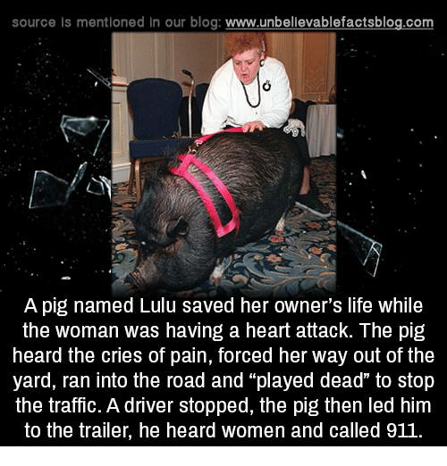 """Pigly: source Is mentioned in our blog: www.unbellevablefactsblog.com  A pig named Lulu saved her owner's life while  the woman was having a heart attack. The pig  heard the cries of pain, forced her way out of the  yard, ran into the road and """"played dead"""" to stop  the traffic. A driver stopped, the pig then led him  to the trailer, he heard women and called 911"""