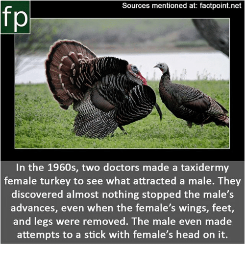 Head, Memes, and Turkey: Sources mentioned at: factpoint.net  fp  In the 1960s, two doctors made a taxidermy  female turkey to see what attracted a male. They  discovered almost nothing stopped the male's  advances, even when the female's wings, feet,  and legs were removed. The male even made  attempts to a stick with female's head on it.