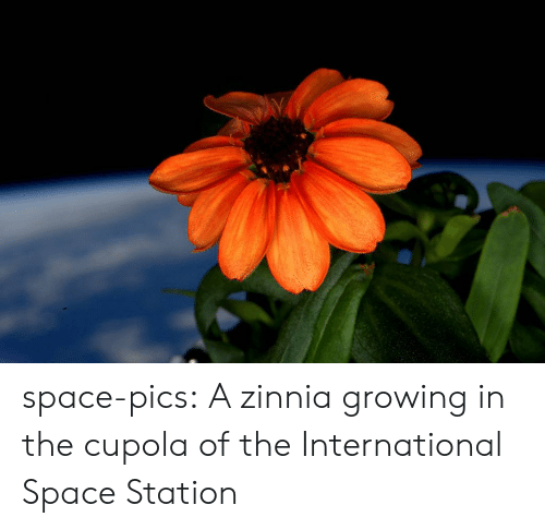 the international: space-pics:  A zinnia growing in the cupola of the International Space Station