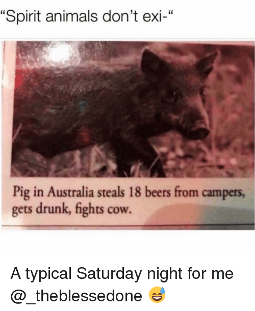 "Animals, Drunk, and Funny: ""Spirit animals don't exi-""  Pig in Australia steals 18 beers from campers,  gets drunk, fights cow. A typical Saturday night for me @_theblessedone 😅"