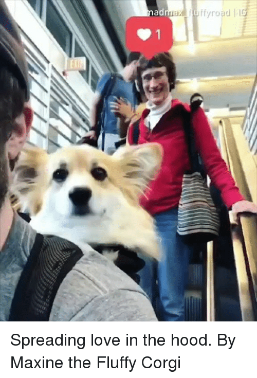 Corgi, Dank, and Love: Spreading love in the hood.  By Maxine the Fluffy Corgi