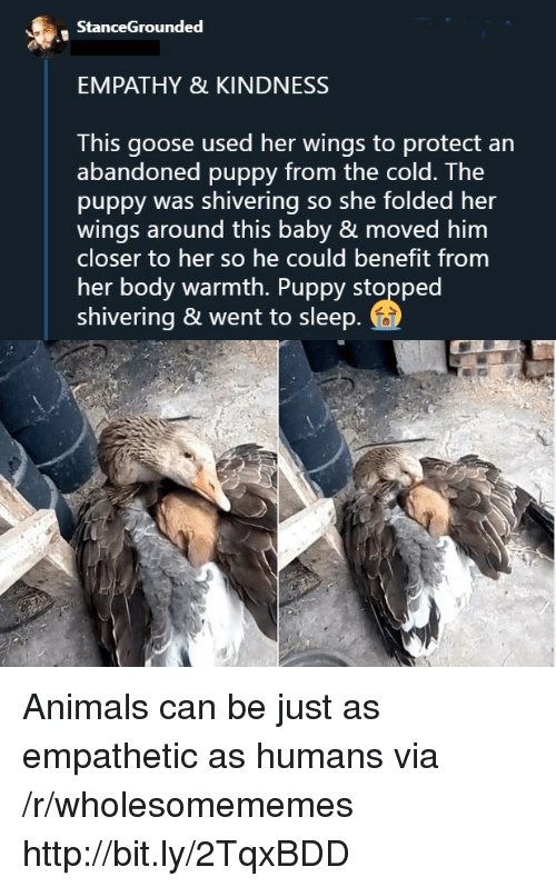 Animals, Empathy, and Http: StanceGrounded  EMPATHY & KINDNESS  This goose used her wings to protect an  abandoned puppy from the cold. The  puppy was shivering so she folded her  wings around this baby & moved him  closer to her so he could benefit from  her body warmth. Puppy stopped  shivering & went to sleep Animals can be just as empathetic as humans via /r/wholesomememes http://bit.ly/2TqxBDD