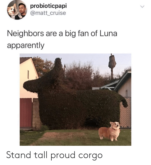 tall: Stand tall proud corgo