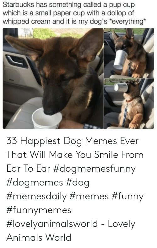 Animals, Dogs, and Funny: Starbucks has something called a pup cup  which is a small paper cup with a dollop of  whipped cream and it is my dog's *everything* 33 Happiest Dog Memes Ever That Will Make You Smile From Ear To Ear #dogmemesfunny #dogmemes #dog #memesdaily #memes #funny #funnymemes #lovelyanimalsworld - Lovely Animals World