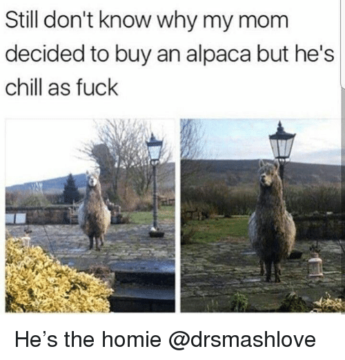 Chill, Homie, and Fuck: Still don't know why my mom  decided to buy an alpaca but he's  chill as fuck He's the homie @drsmashlove