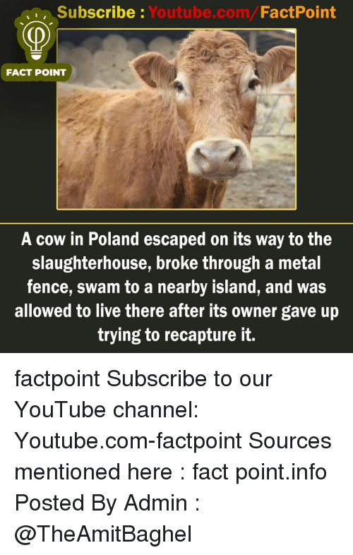 Memes, youtube.com, and Live: Subscribe : Youtube.com/FactPoint  FACT POINT  A cow in Poland escaped on its way to the  slaughterhouse, broke through a metal  fence, swam to a nearby island, and was  allowed to live there after its owner gave up  trying to recapture it. factpoint Subscribe to our YouTube channel: Youtube.com-factpoint Sources mentioned here : fact point.info Posted By Admin : @TheAmitBaghel