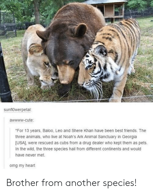 """Awwww Cute: sunf10werpetal:  awwww-cute  """"For 13 years, Baloo, Leo and Shere Khan have been best friends. The  three animals, who live at Noah's Ark Animal Sanctuary in Georgia  [USA), were rescued as cubs from a drug dealer who kept them as pets.  In the wild, the three species hail from different continents and would  have never met.  omg my heart Brother from another species!"""