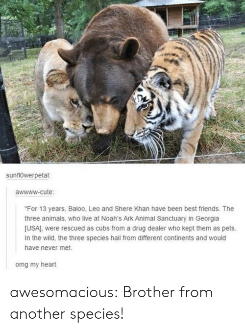 "Animals, Cute, and Drug Dealer: sunf10werpetal:  awwww-cute  ""For 13 years, Baloo, Leo and Shere Khan have been best friends. The  three animals, who live at Noah's Ark Animal Sanctuary in Georgia  [USA), were rescued as cubs from a drug dealer who kept them as pets.  In the wild, the three species hail from different continents and would  have never met.  omg my heart awesomacious:  Brother from another species!"