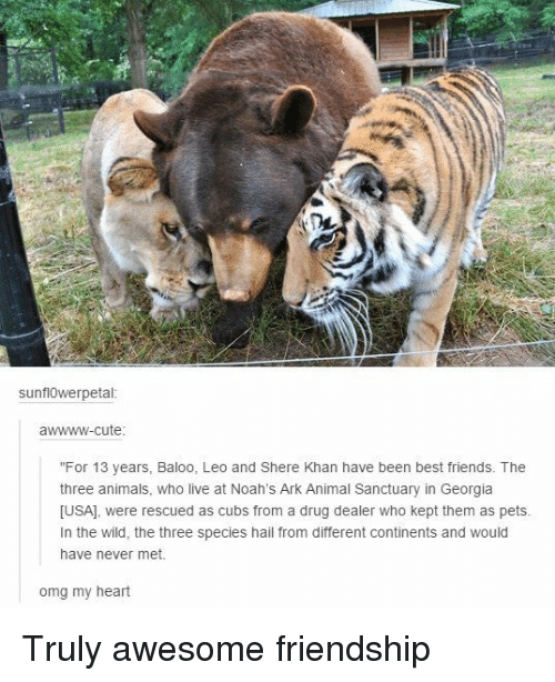 """Awwww Cute: sunflOwerpetal  awwww-cute  """"For 13 years, Baloo, Leo and Shere Khan have been best friends. The  three animals, who live at Noah's Ark Animal Sanctuary in Georgia  [USA], were rescued as cubs from a drug dealer who kept them as pets  In the wild, the three species hail from different continents and would  have never met.  omg my heart Truly awesome friendship"""