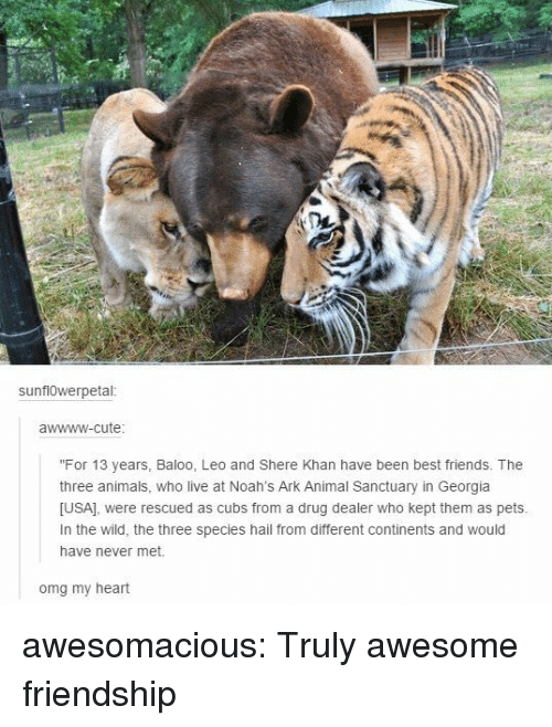 "Animals, Cute, and Drug Dealer: sunflOwerpetal  awwww-cute  ""For 13 years, Baloo, Leo and Shere Khan have been best friends. The  three animals, who live at Noah's Ark Animal Sanctuary in Georgia  [USA], were rescued as cubs from a drug dealer who kept them as pets  In the wild, the three species hail from different continents and would  have never met.  omg my heart awesomacious:  Truly awesome friendship"